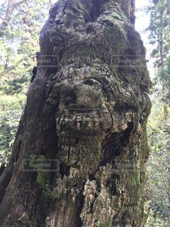 森の大きな木の写真・画像素材[1162189]