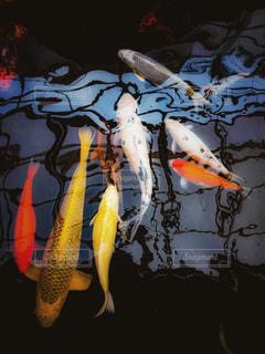 池の鯉の写真・画像素材[1161444]