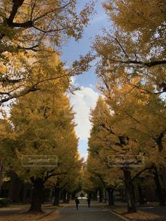 銀杏並木の写真・画像素材[880634]