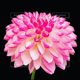 ピンクのダリアの写真・画像素材[1534299]
