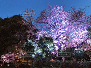 夜桜 - No.1162241