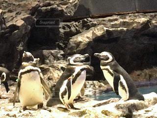 岩に立っているペンギン - No.1163439