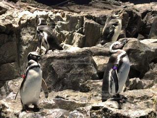 岩に立っているペンギン - No.1163440