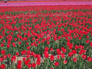 チューリップ畑の写真・画像素材[1163071]