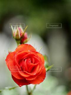 花のように赤いバラの写真・画像素材[1220861]