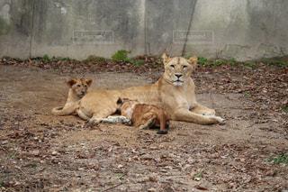 ライオンの親子の写真・画像素材[1970447]