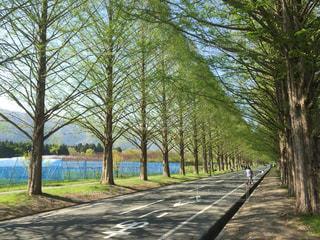 高島メタセコイヤ並木の写真・画像素材[1164001]