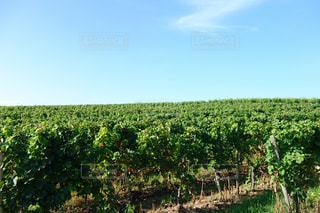リューデスハイムのワインぶどう畑の写真・画像素材[1164074]