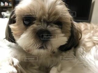 茶色と白犬の写真・画像素材[1164780]