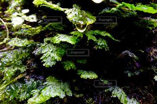 苔と雫の写真・画像素材[1166693]