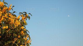 金木犀と月の写真・画像素材[1166732]