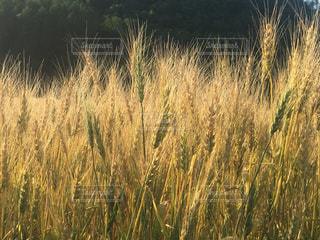 小麦の写真・画像素材[1169719]