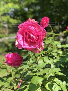 ザ・プリンス パークタワー庭園の薔薇の写真・画像素材[1165965]