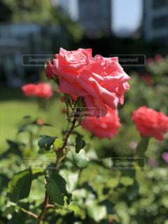 ザ・プリンス パークタワー 庭園の薔薇の写真・画像素材[1165966]
