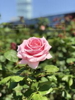 薔薇の写真・画像素材[1165967]
