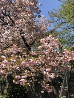 桜 - No.1167809