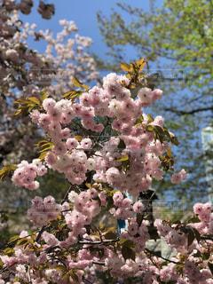 芝公園の桜の写真・画像素材[1167811]
