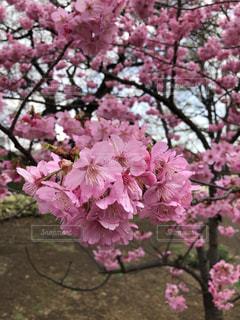 新宿御苑の桜(4) - No.1168073