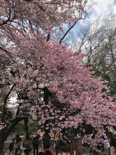 新宿御苑の桜(5)の写真・画像素材[1168074]