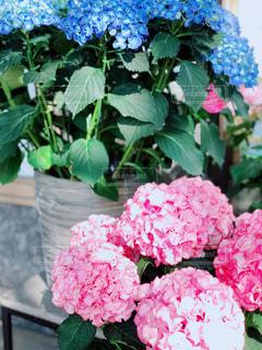 紫陽花の写真・画像素材[1177974]