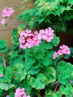 ピンク色の花の写真・画像素材[1177975]