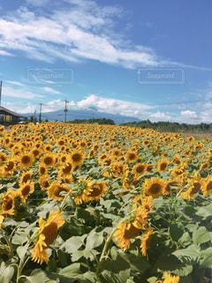 ひまわり畑の写真・画像素材[1178227]