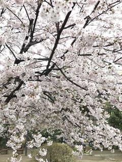 桜 - No.1181089