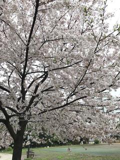 桜 - No.1181090