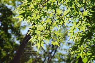 初夏のモミジの写真・画像素材[1174463]