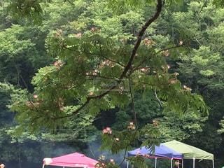 大きな拡がりの木とバーベキューの写真・画像素材[1315752]
