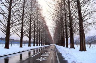 冬のメタセコイア並木の写真・画像素材[1166285]