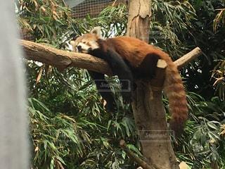 木の枝に座っているパンダの写真・画像素材[1166262]