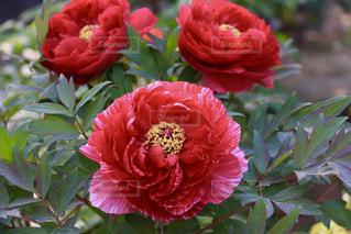 赤い牡丹の写真・画像素材[1166725]