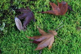 もみじの葉と苔の写真・画像素材[1169011]