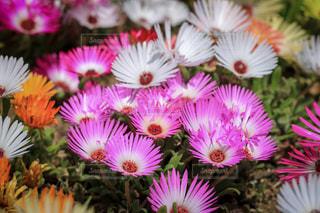 リビングストンデージーの花畑の写真・画像素材[1166901]