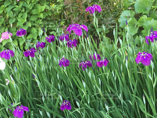 近くに紫の花のアップの写真・画像素材[1167072]