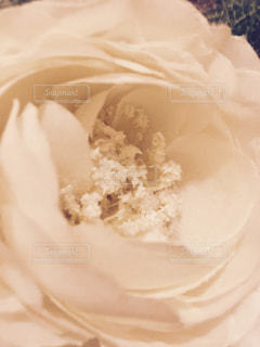 薔薇の写真・画像素材[1180532]