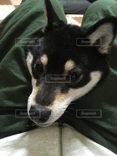 足の間から犬の顔の写真・画像素材[1168609]