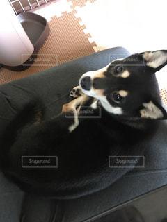 座椅子の上でくつろぐ犬の写真・画像素材[1168610]