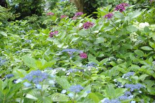 紫陽花の庭の写真・画像素材[1168901]