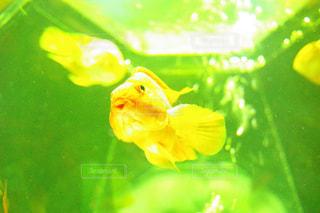 黄色い金魚の写真・画像素材[1168903]
