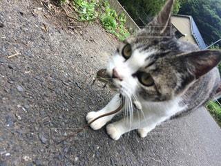 トカゲを食べる猫の写真・画像素材[1169845]