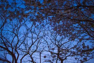 夜桜の写真・画像素材[1169291]
