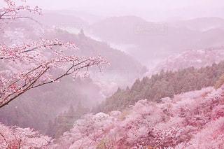 桜の写真・画像素材[1250219]