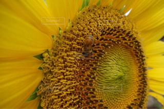 ひまわりとミツバチの写真・画像素材[1169279]