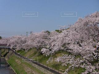 木曽川堤防の桜の写真・画像素材[1171670]