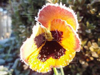 霜の降りた花の写真・画像素材[1171976]