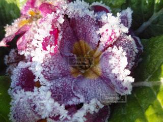 霜の降りた花の写真・画像素材[1171984]