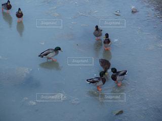 氷湖を歩くカモの写真・画像素材[1172097]