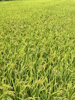 背の高い緑の草の写真・画像素材[1169476]